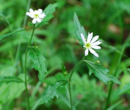 ミヤコワスレ原種の花とは