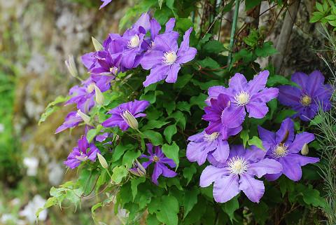 紫のテッセンが