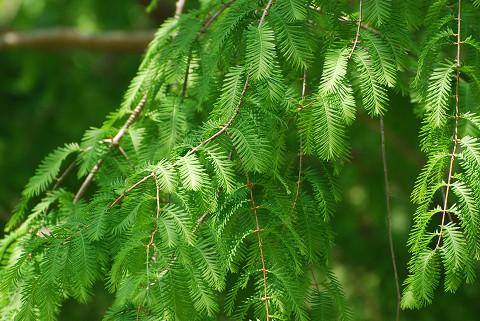 イチイの木の葉