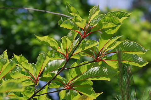 リョウブの赤い葉柄