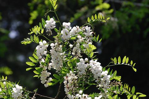 ウツギ(卯の花)の花が