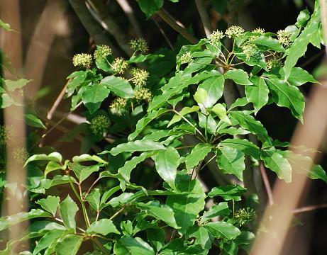 タカノツメの花序が