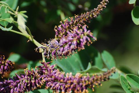 イタチハギの奇っ怪な花