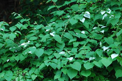 マタタビの葉の半夏生