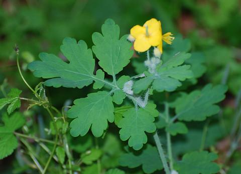 クサノオウの黄色い花の雌しべ