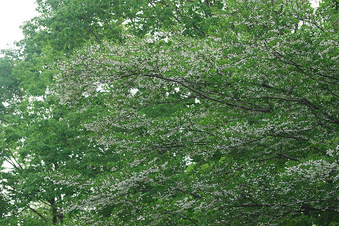 すごい数のエゴノキの花