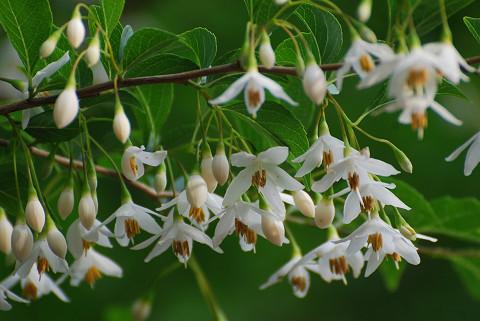 エゴノキの白い花は