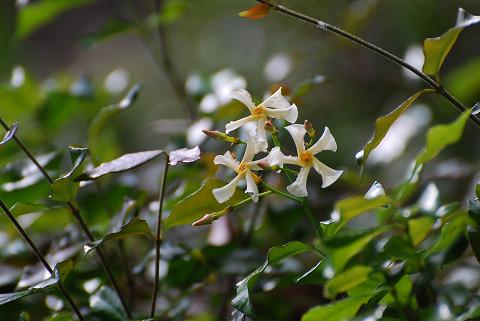 テイカカズラの花が