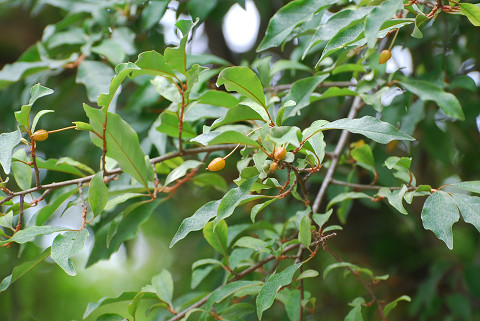 ナワシログミの黄色の実