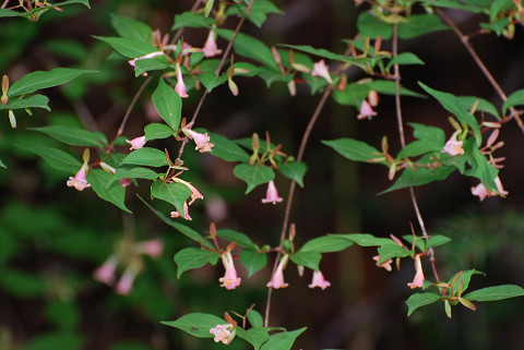 ツクバネウツギの花がきれい