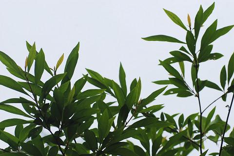 カナクギノキの葉がきれい2