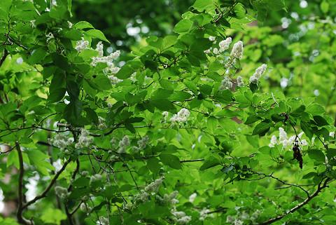 サワフタギの白い花が