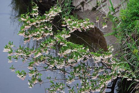川にせり出すウツギの花