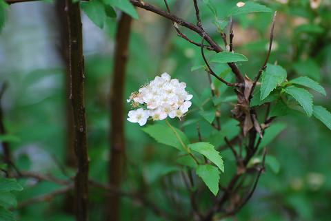 コデマリの残った花