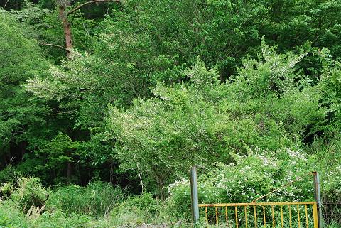 エゴノキに花がいっぱい1