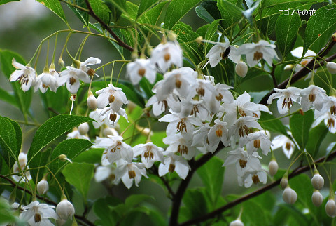 エゴノキの花がきれいで