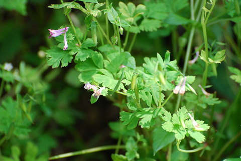 ジロボウエンゴサクの花は