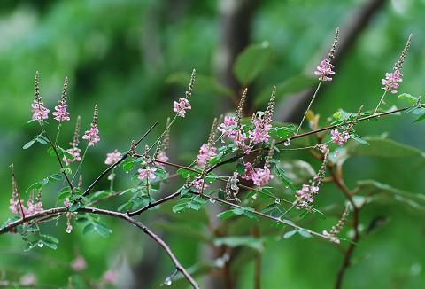 コマツナギのピンクの花が