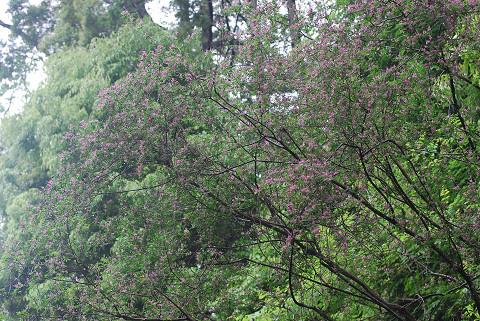 コマツナギで木がピンクに