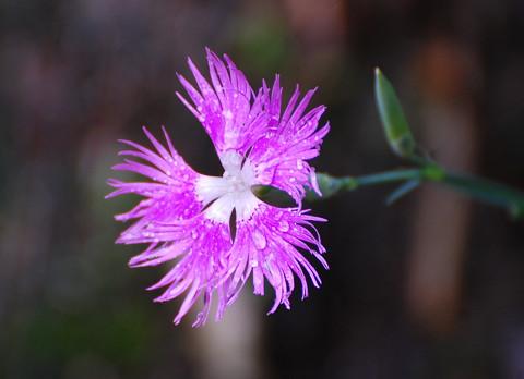 カワラナデシコのピンクの花