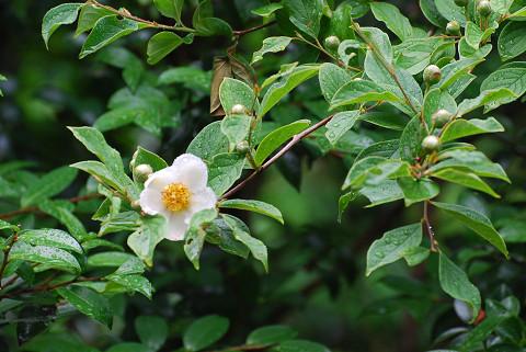 ヒメシャラに花が咲いた