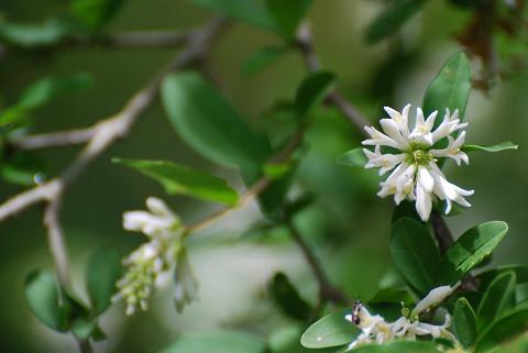 イボタノキの白い花が