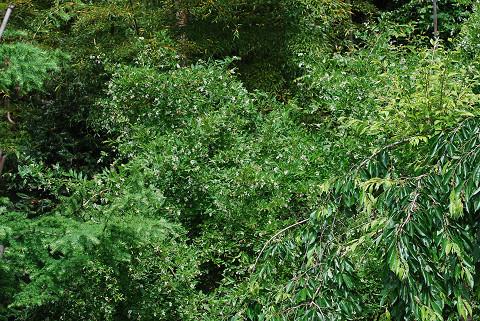 イボタノキの枝先に花