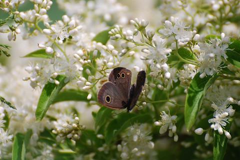 ヒメウラナミジャノメが花に