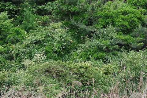 イボタノキの花が白い斑点