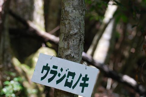ウラジロノキの木肌