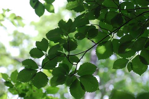 ウラジロノキの葉