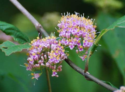 ムラサキシキブの花をアップ