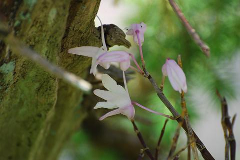 モッコクの花がきれいで