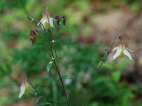 ヤマオダマキの花は