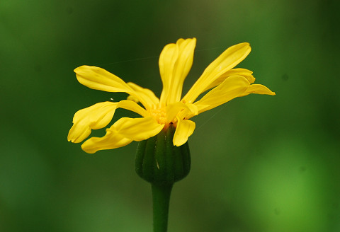 ハンカイソウの頭花