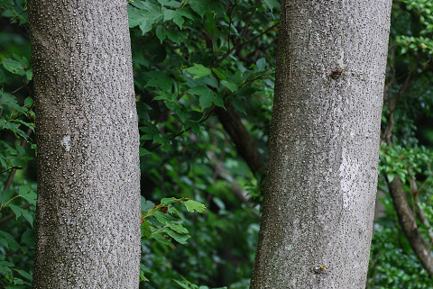 アオハダの木肌(皮目)