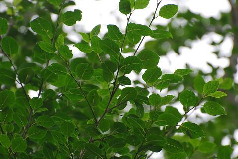 アオハダの葉を