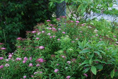 シモツケの花が美しい