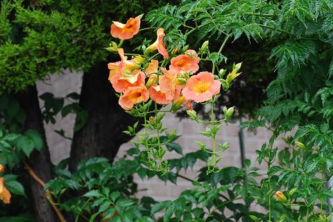 ノウゼンカズラの橙色の花
