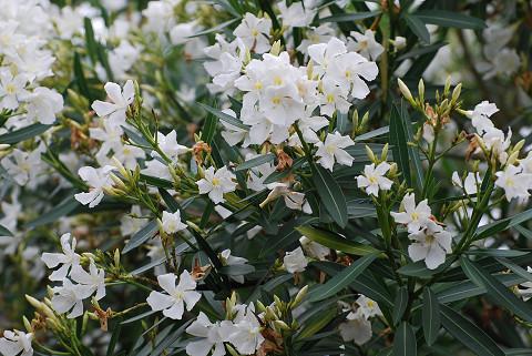 クチナシの白い花