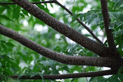 センダンの木肌