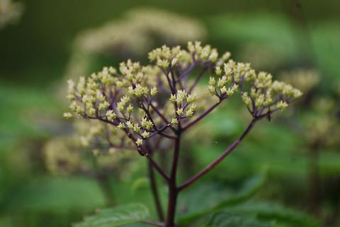 コアジサイの花の終わり