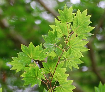 コハウチワカエデの葉が