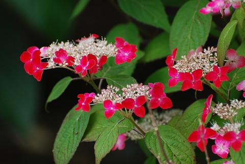 赤い装飾花のアジサイ