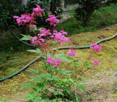 シモツケソウの赤い花が