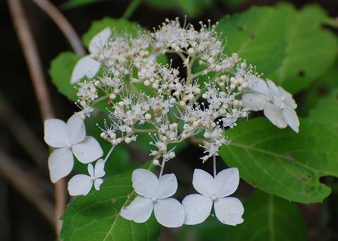 ヤマアジサイの花がきれい