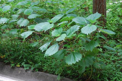 メヤブマオの大きな葉