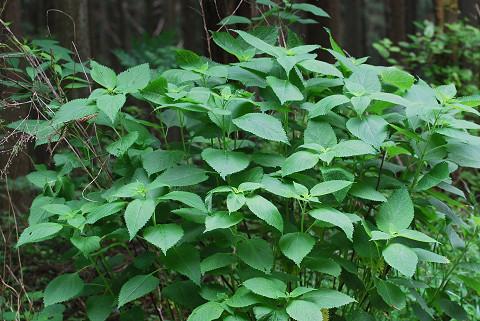 タマアジサイの葉が