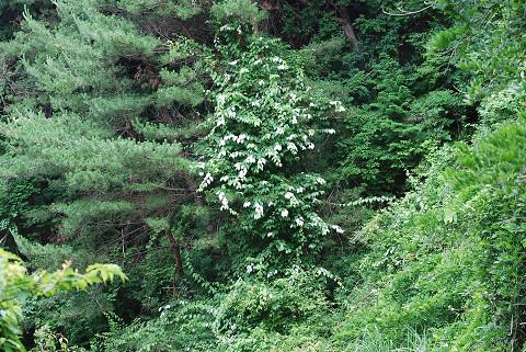マタタビの半夏生の葉