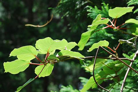 サルナシの葉は